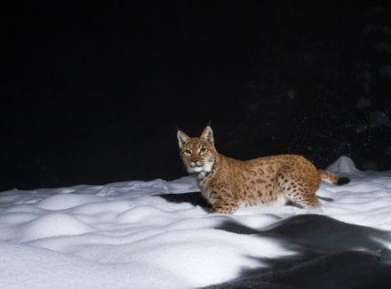 Luchsweibchen im Schnee