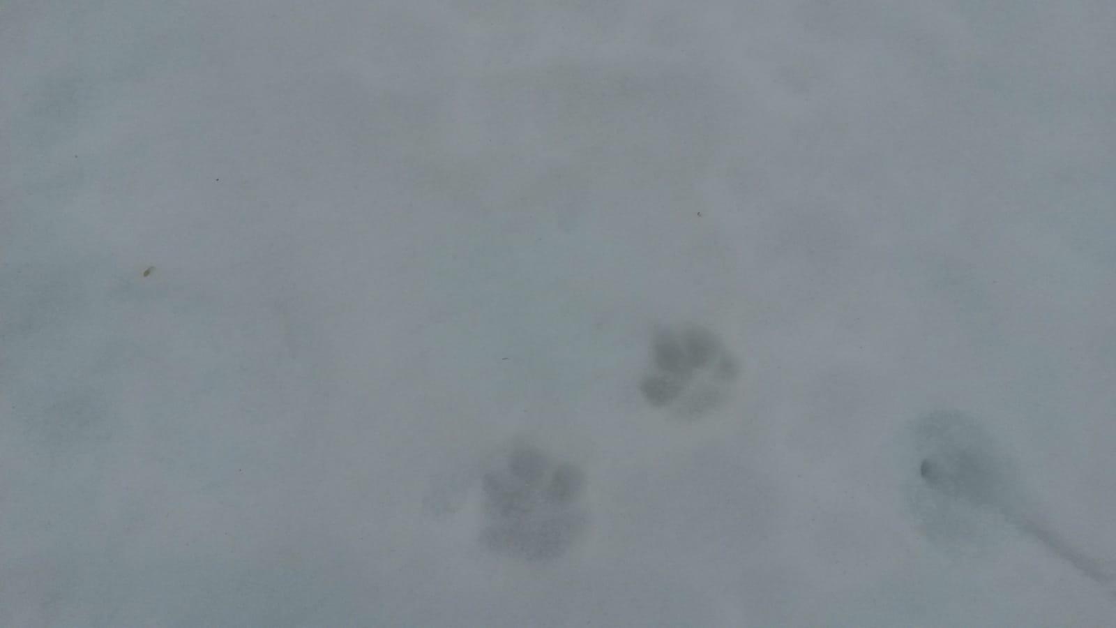 Spuren des Tieres im Schnee